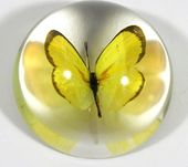 Grass Yellow Butterfly - Dome Paperweight
