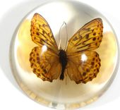Indian Fritillary Butterfly - Dome Paperweight