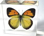 Yellow Orange Tip Butterfly - Paperweight
