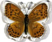 Indian Frittilary Butterfly - Magnet